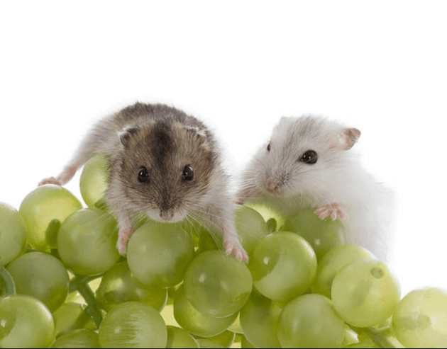 can guinea pigs eat red grapes