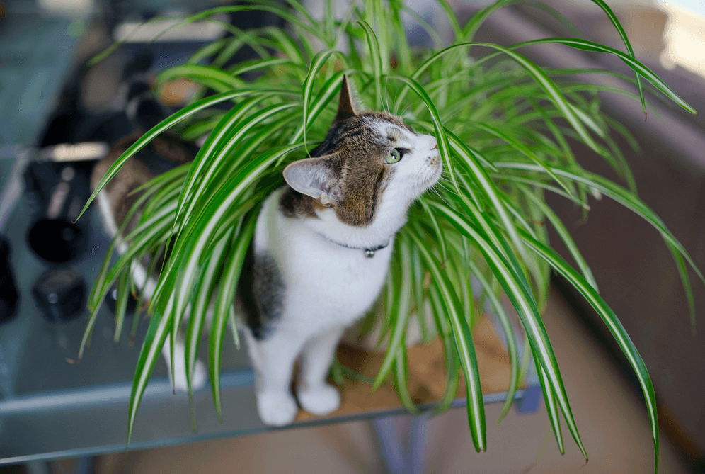 Are Spider Plants Poisonous to Cats