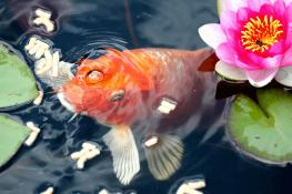 How Often Do You Feed Goldfish