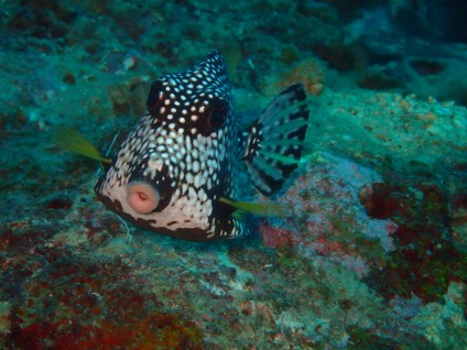 A kissing Smooth Trunkfish