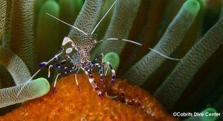 Yucatan shrimp