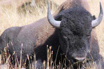 Self guided wildlife tour in Yellowstone