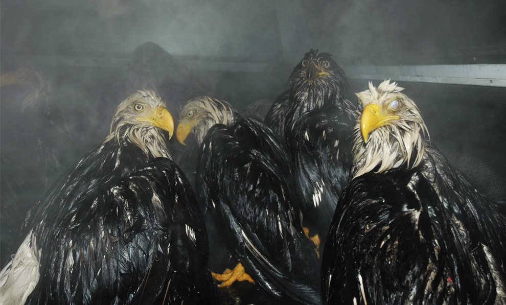 In this Jan. 11, 2008 photo, eagles await transfer to a warm U.S. Fish and Wildlife warehouse after being rescued from the cold in Kodiak, Alaska. They were among 50 eagles which dove into the back of an uncovered dump truck full of fish guts and became too wet to fly away. (AP Photo/Jay Barrett) #