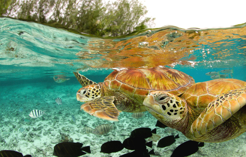 Green Sea Turtles from Tahiti