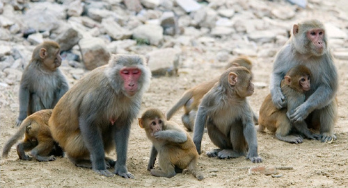 Self-Recognition in Rhesus Macaques
