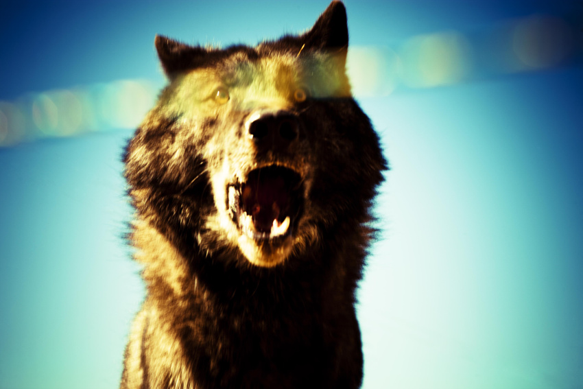 Wolf1