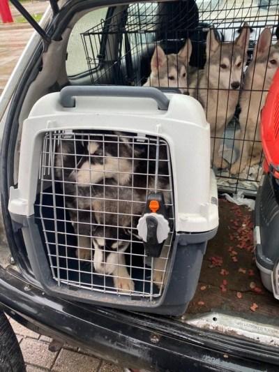 HZA-P: Illegale Einfuhr von lebenden Tieren / Zoll entdeckt sieben Hunde in PKW aus Belarus
