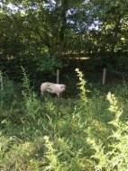 FW-WRN: TH_2 - Umgestürzter Schweinetransporter, keine Person eingeklemmt