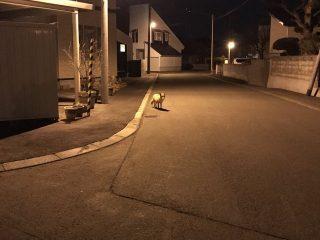 犬の散歩中に振り返ったら…キタキツネに尾行されていた