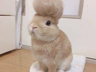 衣替えでリーゼントに!?毛玉を頭に乗せられたうさぎがふわふわでかわいい!