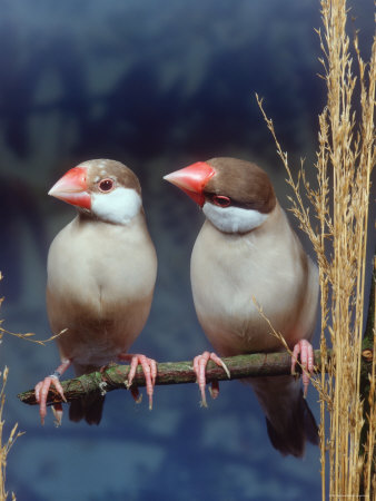 a mating pair of java sparrows perched on a branch just long enough for the two of them