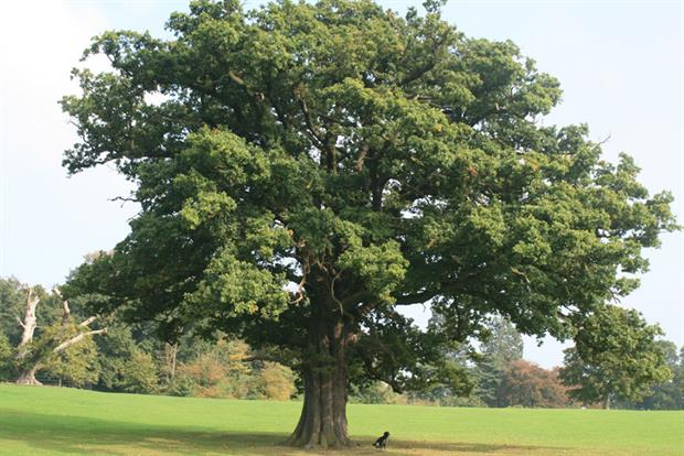 Image result for Oak tree
