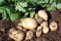 Accord seed potatoes - image: JBA