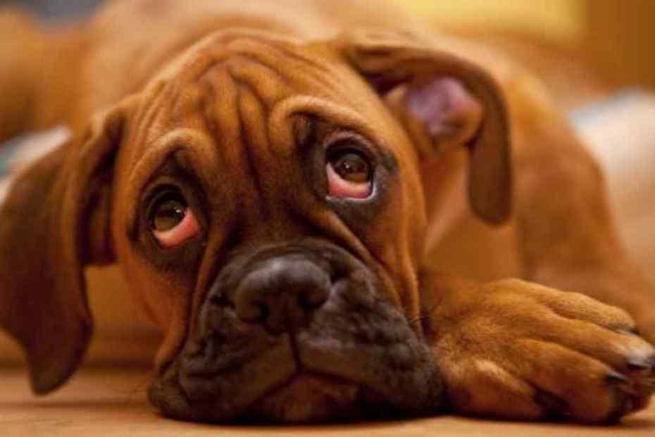 O que Causa Terçol em Cachorro
