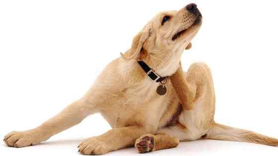 Tipos de alergia em cachorro