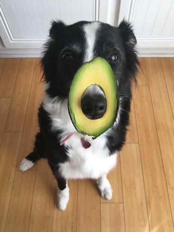 Cachorro pode comer abacate?