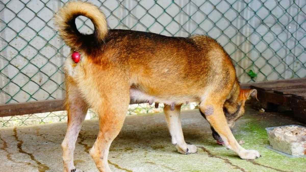O que é prolapso retal em cães