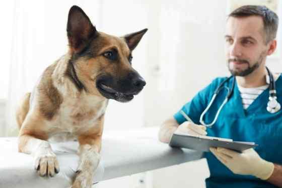 Como tratar prolapso retal em cães?