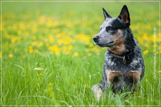 Cães mais inteligentes do mundo