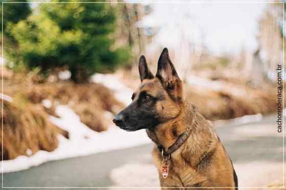 As melhores raças para cão de guarda