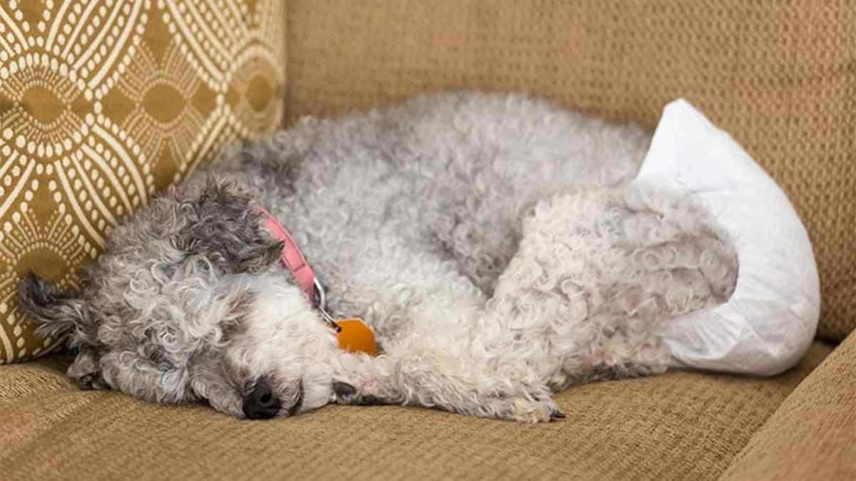 Como funciona o CIO da cadela?