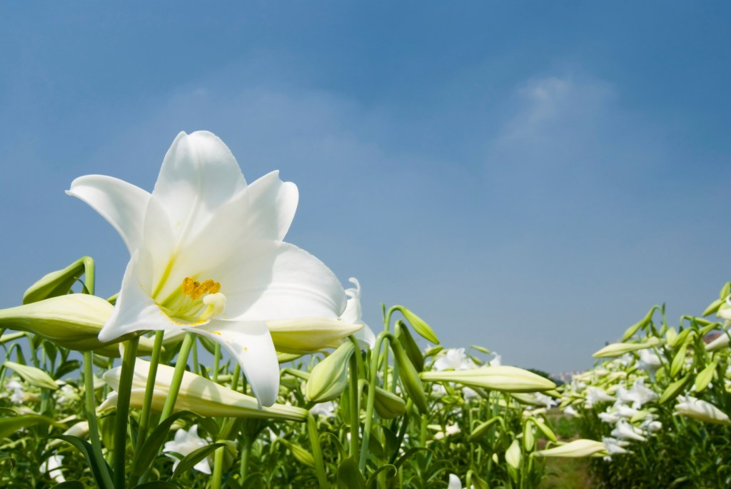 wild white lily under sunlight with fresh blue sky