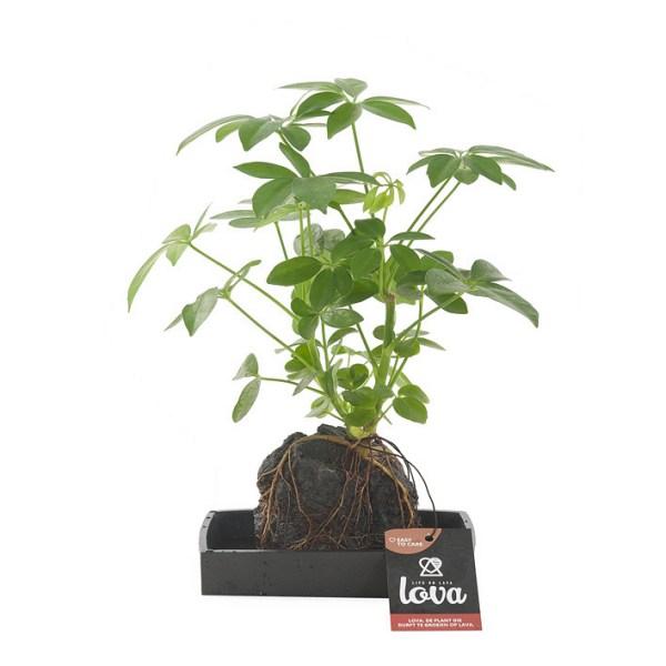 Schefflera plant op lavasteen (Lova)