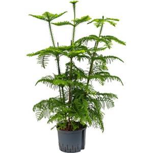 Araucaria heterophylla hydrocultuur plant