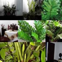 Zamioculca: Ótima para Ambiente com Pouca Luminosidade