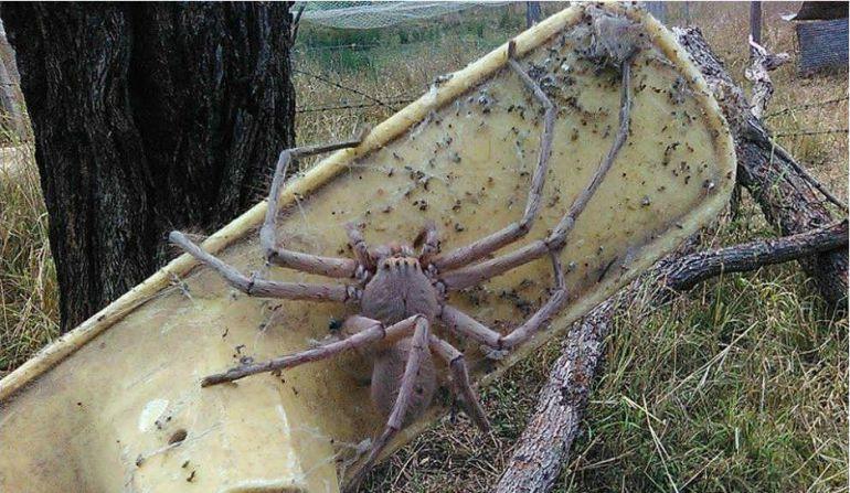 Impresionante araña encontrada en Australia.
