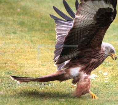 Finally captured the (Red) Kite 2