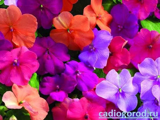 Бальзамин-цветок-Описание-и-уход-за-бальзамином-7