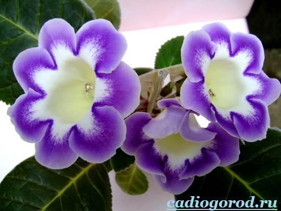 Глоксиния комнатная: фото цветов, описание, уход 79