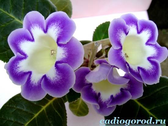 Глоксиния-Описание-и-уход-за-цветком-глоксиния-1