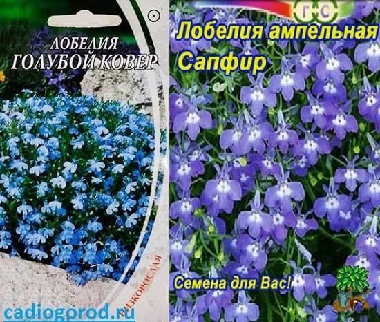 Лобелия-Описание-и-уход-за-цветком-лобелия-6