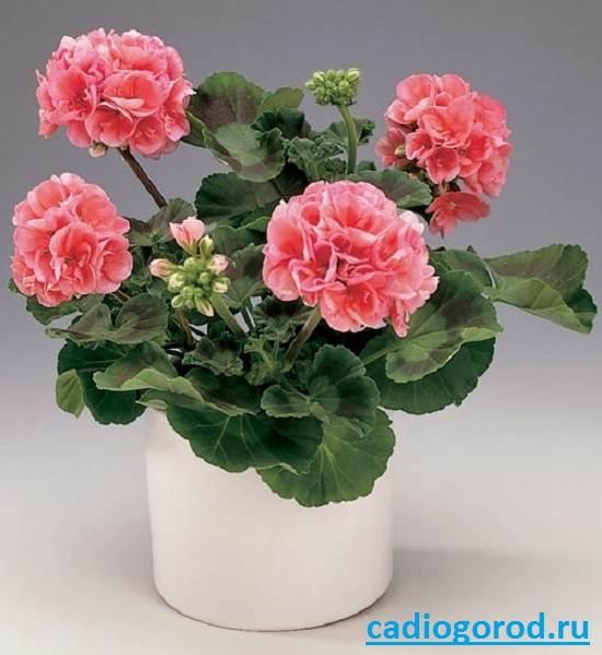 Пеларгония-цветок-Описание-пеларгонии-Виды-и-уход-за-пеларгонией-3