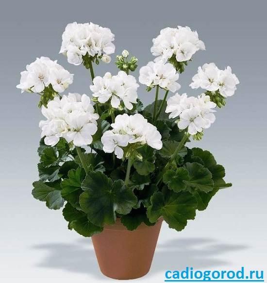 Пеларгония-цветок-Описание-пеларгонии-Виды-и-уход-за-пеларгонией-9