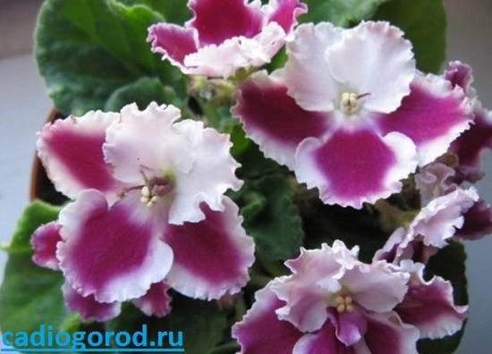 Сенполия-Описание-и-уход-за-цветком-сенполия-3