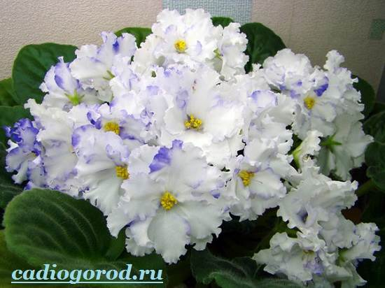 Фиалка-цветок-Описание-и-уход-за-фиалкой-5