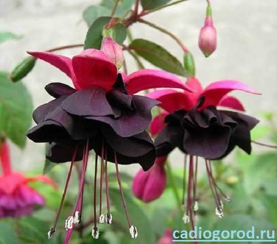 Цветок махровая фуксия фото