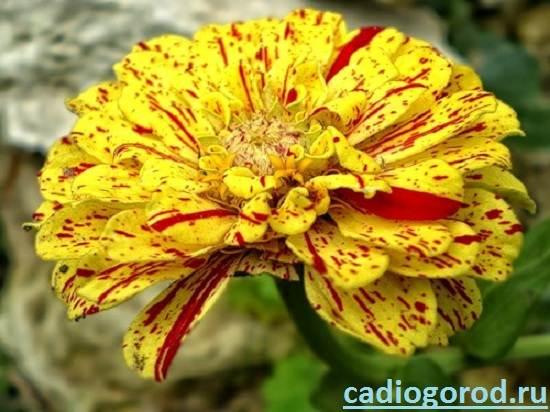 Циния-цветок-Описание-и-уход-за-цинией-3
