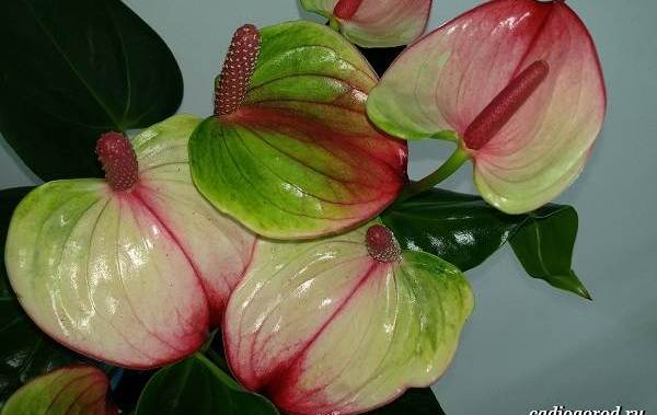 anturium-opisanie-i-uxod-za-cvetkom-anturiumom-5