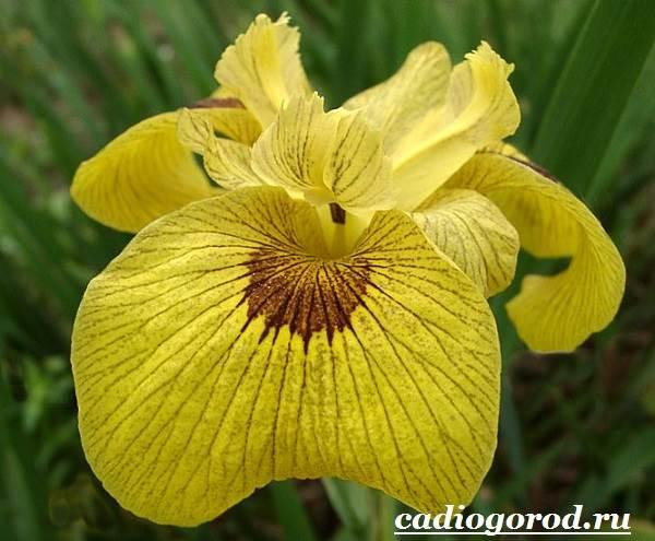 Ирис-Описание-и-уход-за-цветком-ирисом-5