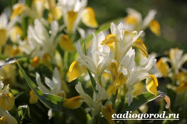 Ирис-Описание-и-уход-за-цветком-ирисом-8