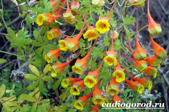 Настурция-цветок-Описание-и-уход-за-настурцией-5