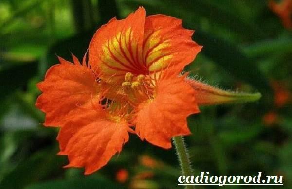 Настурция-цветок-Описание-и-уход-за-настурцией-8