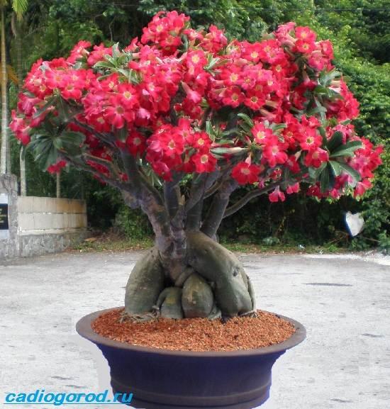 Адениум-цветок-Выращивание-и-уход-за-цветком-адениум-2
