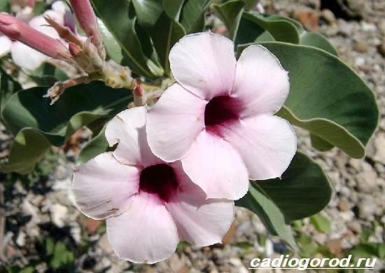 Адениум-цветок-Выращивание-и-уход-за-цветком-адениум-6