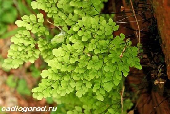 Адиантум-папоротник-Выращивание-адиантума-Уход-за-адиантумом-3