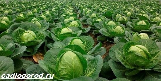 Выращивание-капусты-Как-и-когда-сажать-капусту-Уход-за-капустой-2